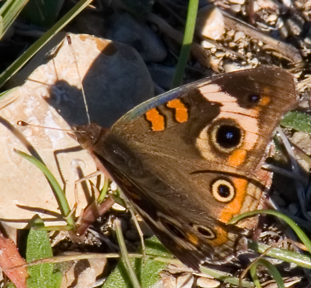 Buckeye butterfly on December 13 in Austin
