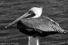 20061213_EvergladesPelican04BW