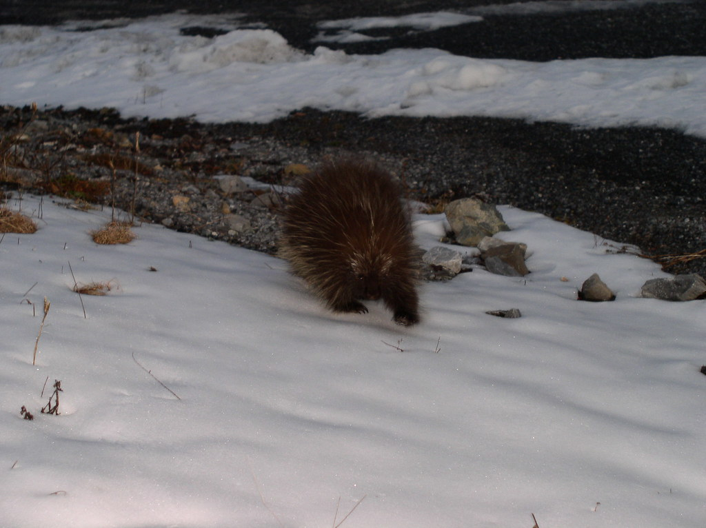 Young Porcupine