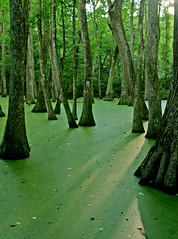 Mississippi Swamp photo by Andrew Shapter
