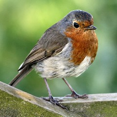 Robin Red Breast photo by SussexSnapper