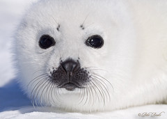 Harp Seal Pup photo by Peter Brake