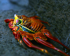 Sally Light Foot crab photo by lar3