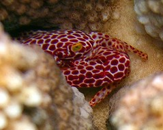 Red Spotted Coral Crab