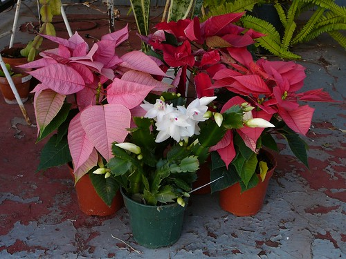 christmas_cactus_20596
