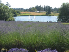 Just beyond Pelindaba's lavender fields, sailboats skim the surface of a lake, on San Juan Island, Washington State