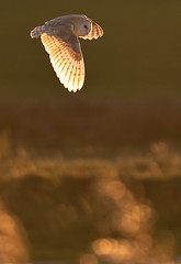 Barn Owl - Sussex - UK photo by tonyskerlphotography