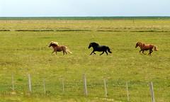 Icelandic horses having fun! photo by bobtravis