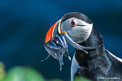 Puffin photo by Gudmann
