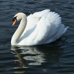 Swan on the Serpentine photo by pearceval
