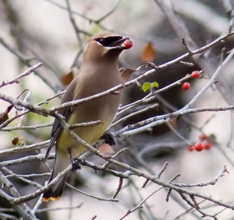Cedar waxwing eating holly berries