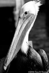20061213_EvergladesPelican08BW