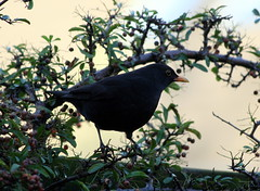 Blackbird in the garden