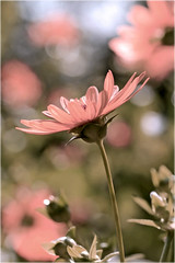 pink daisy photo by Lee_Bryan