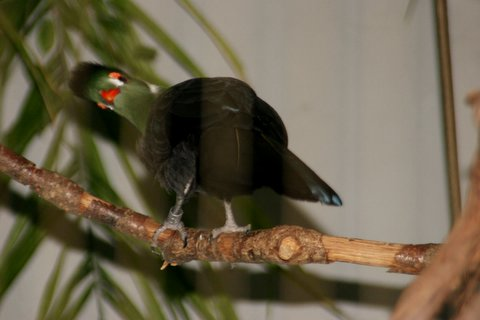 IMG_0722.JPG White-cheeked Turaco, African continent IMG_0722.JPG