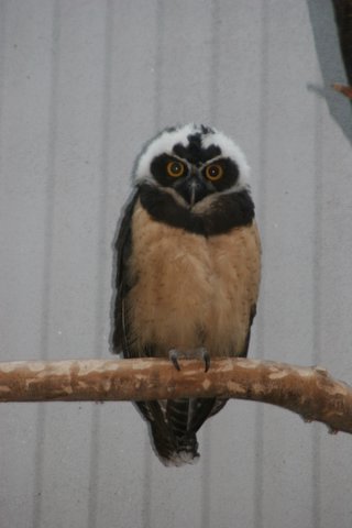 Spectacled Owl, St Louis Zoo, IMG_0751.JPG