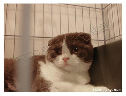 漂亮的折耳貓
