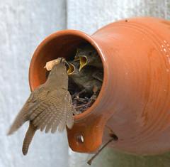 Williamsburg Bottle Birds (House Wren) NG Published* photo by William  Dalton