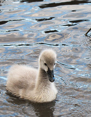 Baby Black Swan photo by Special Kylie