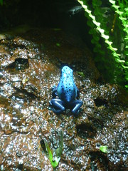 Blue Poison Dart Frog photo by mlsnp
