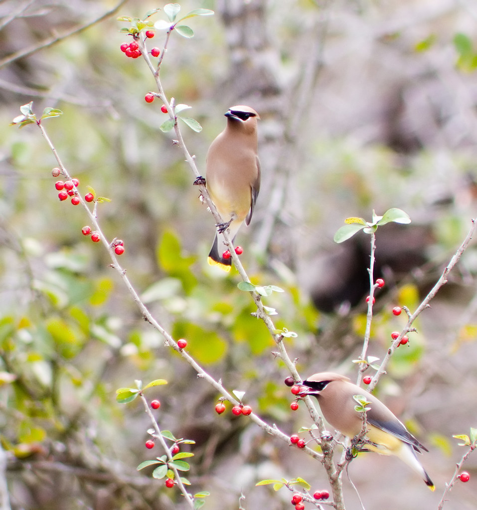 Two cedar waxwings eating holly berries