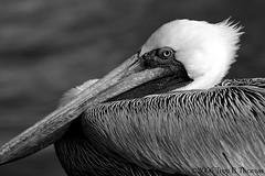 20061213_EvergladesPelican05BW