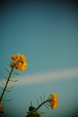 12月の菜の花