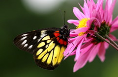 Butterfly and Chrysanthemum photo by Chi Liu