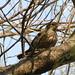 Brown-streaked Branchcrawler