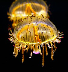 くらげ -2 / Jellyfish photo by nobuflickr