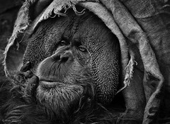 Hiding under burlap is always a safe choice (alternately: what well-dressed orangutans are wearing this season) photo by alan shapiro photography