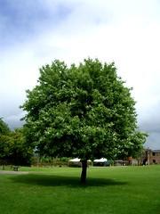 Ludlow Castle Tree