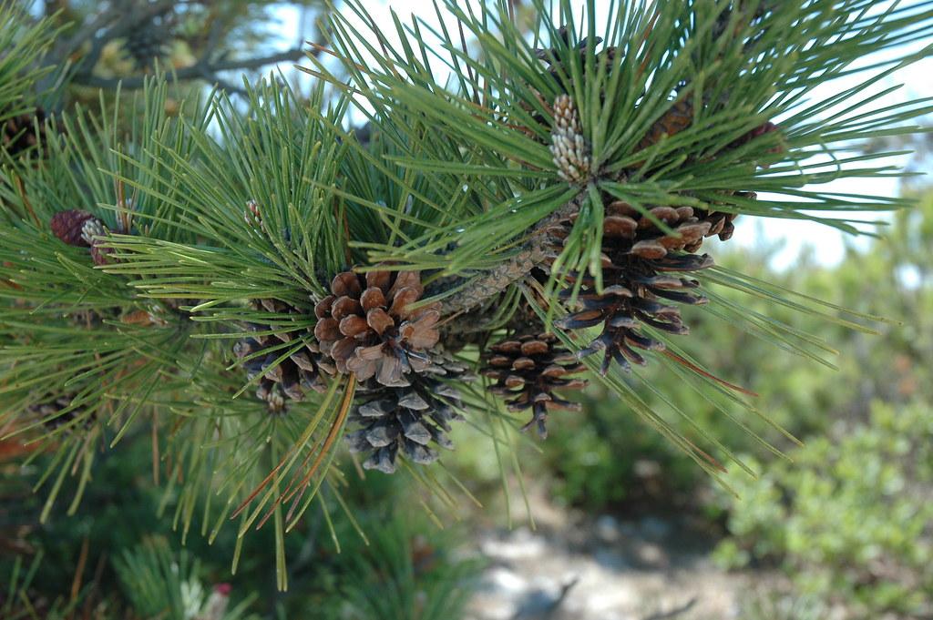 Beach Pine Tree