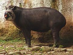 Tapir 2 300 x 400