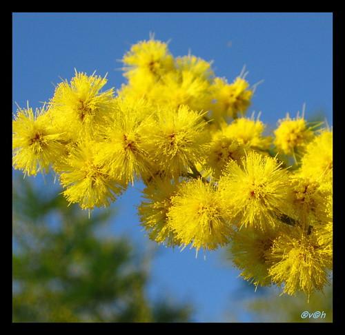 mimosa (by hervcha)
