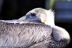 20061213_EvergladesPelican02