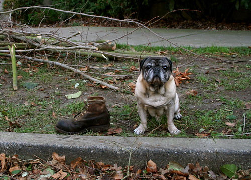 Pug WIth Work Boot