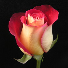 Rose photo by annkelliott