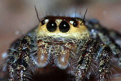 Jumping Spider photo by AgniMax