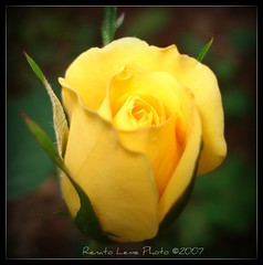 MINI YELLOW ROSE photo by Renato Leme