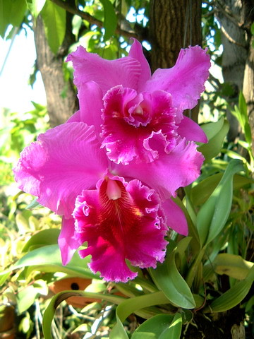 purple cattleya, dec-06