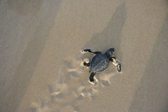 Baby Turtle on the Run