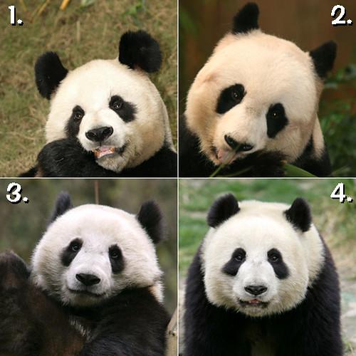 Four Giant Pandas in Ocean Park