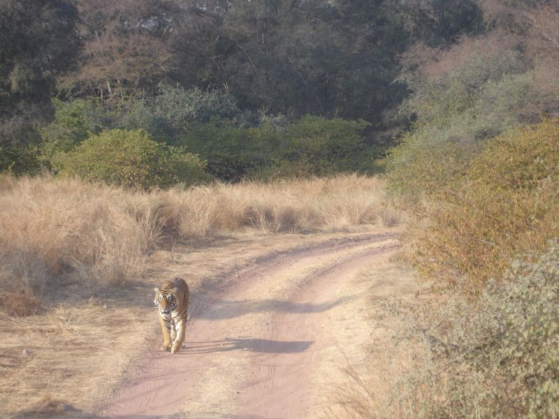 Ranthambore Tiger Park - Web-site quality photo