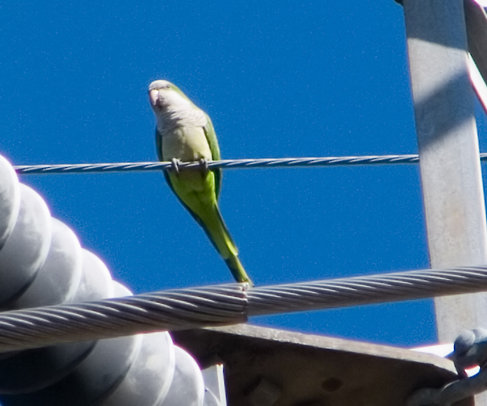 Monk parakeet in its natural Austin habitat