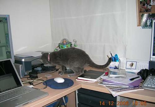 Gato azul ruso Imprimiendose la pata
