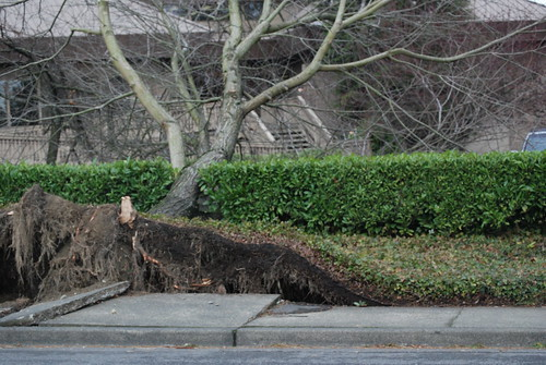 Trees uprooted all over town