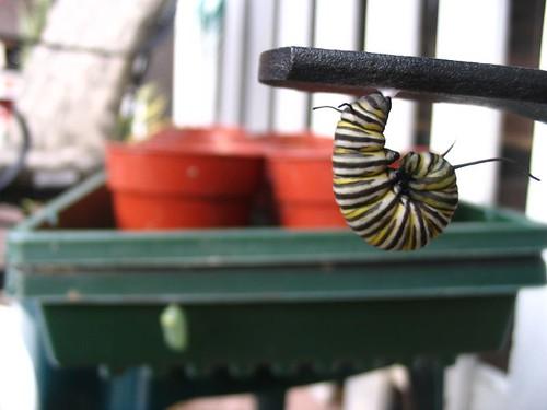 monarchs!!