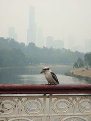 Kookaburra and bush fire haze