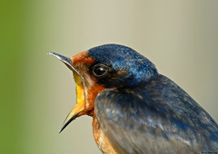 Shout - Barn Swallow photo by Jerry Ting